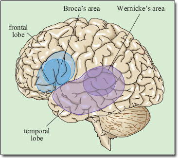 Broca's Area and Wernicke's area in the brain