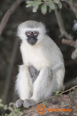 Vervet monkey cc D Keats