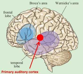 Brain diagram auditory wiring library speech perception rh sltinfo com auditory nerve diagram auditory nerve diagram ccuart